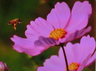 コスモスとミツバチ.PNG