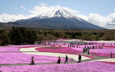 富士の裾野の芝桜.png