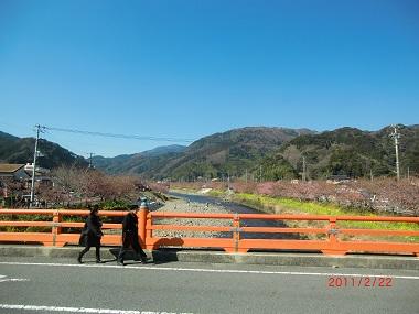 川津桜と菜の花と橋.jpg