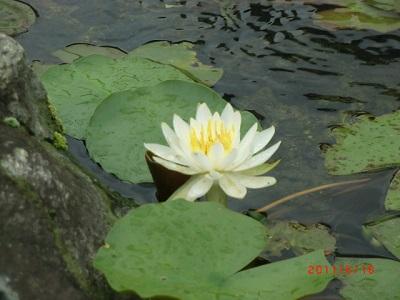 睡蓮の花333.jpg