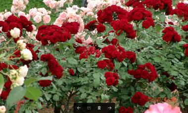 赤いバラ33.png