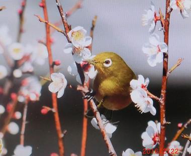 梅と目白100.png
