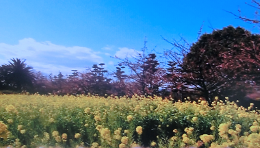菜の花畑.png